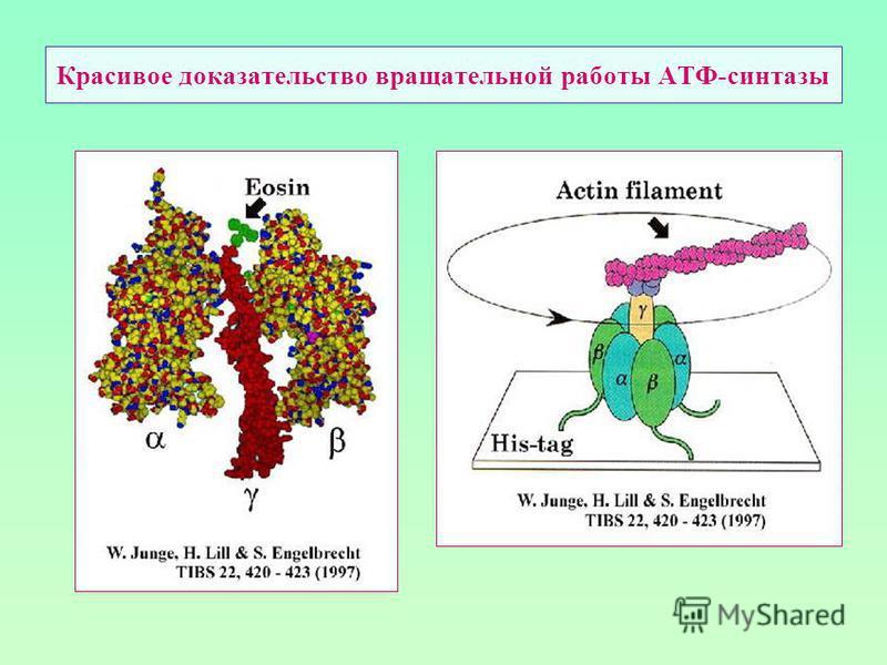 Красивое доказательство вращательной работы АТФ-синтетазы