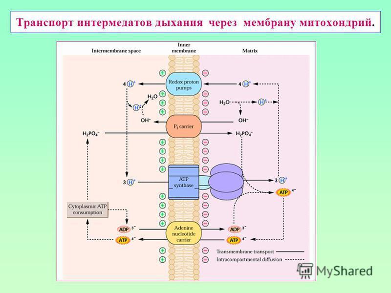 Транспорт интермедиатов дыхания через мембрану митохондрий.