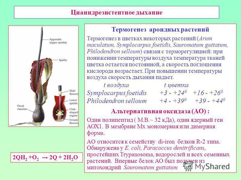 Цианидрезистентное дыхание Термогенез ароидных растений Термогенез в цветках некоторых растений (Arum maculatum, Symplocarpus foetidis, Sauromatum guttatum, Philodendron selloum) связан с терморегуляцией: при понижении температуры воздуха температура
