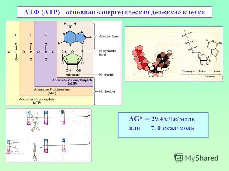 АТФ (ATP) - основная «энергетическая денежка» клетки ΔG o = 29,4 к Дж/ моль или 7. 0 ккал/ моль