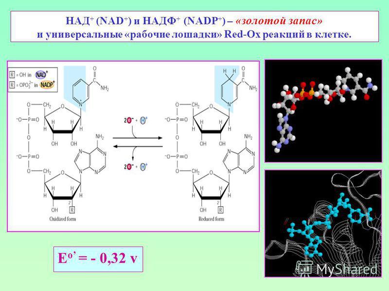 НАД + (NAD + ) и НАДФ + (NADP + ) – «золотой запас» и универсальные «рабочие лошадки» Red-Ox реакций в клетке. E о = - 0,32 v