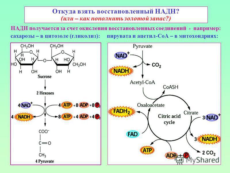 Откуда взять восстановленный НАДН? (или – как пополнить золотой запас?) НАДН получается за счет окисления восстановленных соединений - например: сахарозы – в цитозоль (гликолиз): пирувата и ацетил-СоА – в митохондриях: