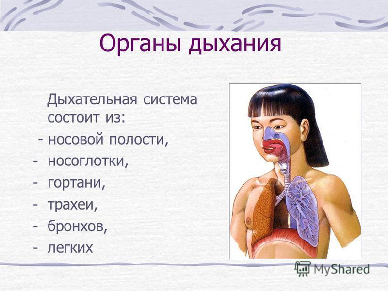 Органы дыхания Дыхательная система состоит из: - носовой полости, - носоглотки, - гортани, - трахеи, - бронхов, - легких