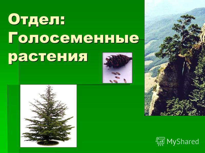 Отдел: Голосеменные растения