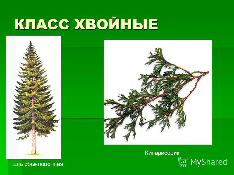 КЛАСС ХВОЙНЫЕ Кипарисовик Ель обыкновенная