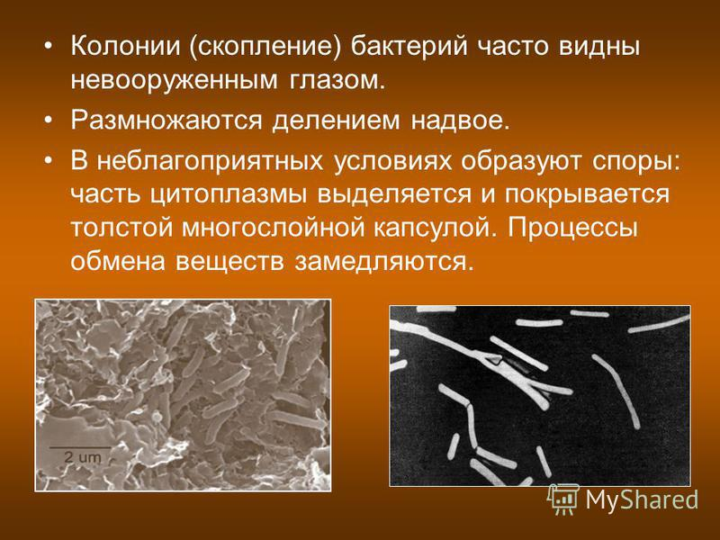 Колонии (скопление) бактерий часто видны невооруженным глазом. Размножаются делением надвое. В неблагоприятных условиях образуют споры: часть цитоплазмы выделяется и покрывается толстой многослойной капсулой. Процессы обмена веществ замедляются.