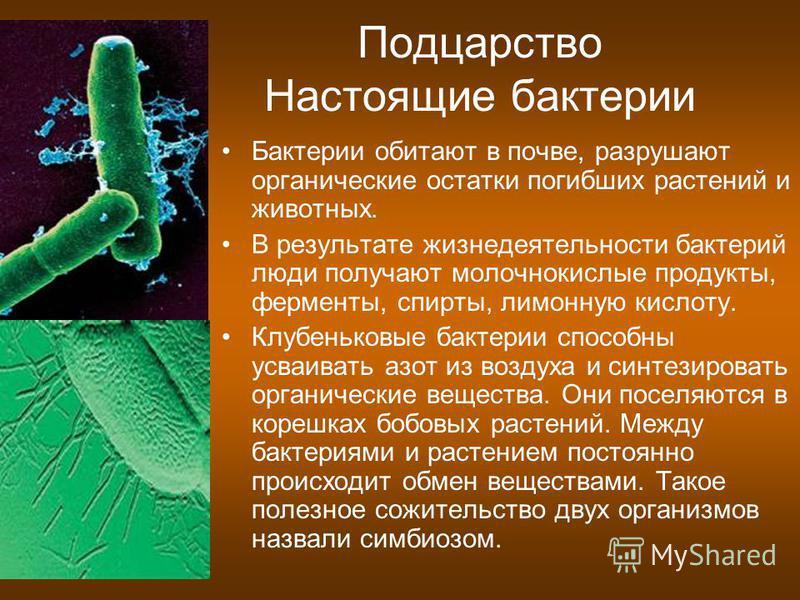 Подцарство Настоящие бактерии Бактерии обитают в почве, разрушают органические остатки погибших растений и животных. В результате жизнедеятельности бактерий люди получают молочнокислые продукты, ферменты, спирты, лимонную кислоту. Клубеньковые бактер