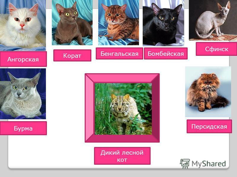 Дикий лесной кот Ангорская Бурма Корат Бенгальская Бомбейская Персидская Сфинск