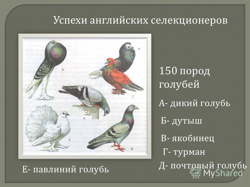 Успехи английских селекционеров 150 пород голубей А- дикий голубь Б- дутыш В- якобинец Г- турман Д- почтовый голубь Е- павлиний голубь