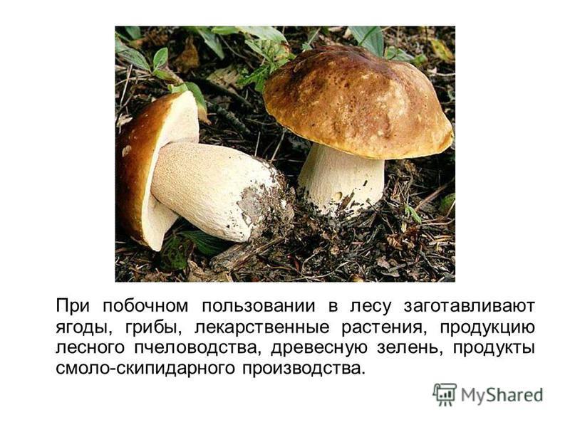 При побочном пользовании в лесу заготавливают ягоды, грибы, лекарственные растения, продукцию лесного пчеловодства, древесную зелень, продукты смола-скипидарного производства.