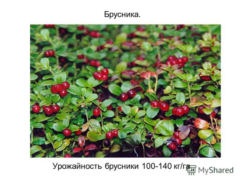 Брусника. Урожайность брусники 100-140 кг/га.