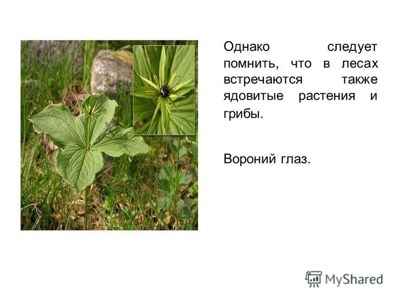 Однако следует помнить, что в лесах встречаются также ядовитые растения и грибы. Вороний глаз.