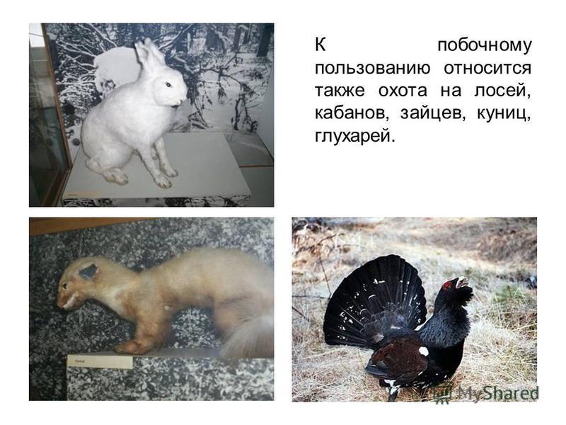 К побочному пользованию относится также охота на лосей, кабанов, зайцев, куниц, глухарей.