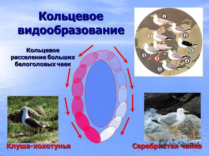 Кольцевое видообразование Кольцевое расселение больших белоголовых чаек Клуша-хохотунья Серебристая чайка