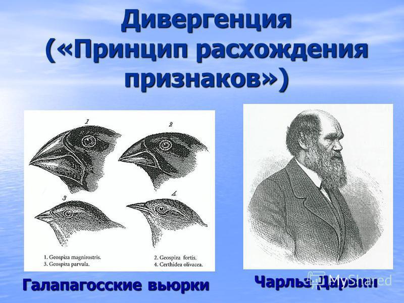 Дивергенция («Принцип расхождения признаков») Чарльз Дарвин Галапагосские вьюрки