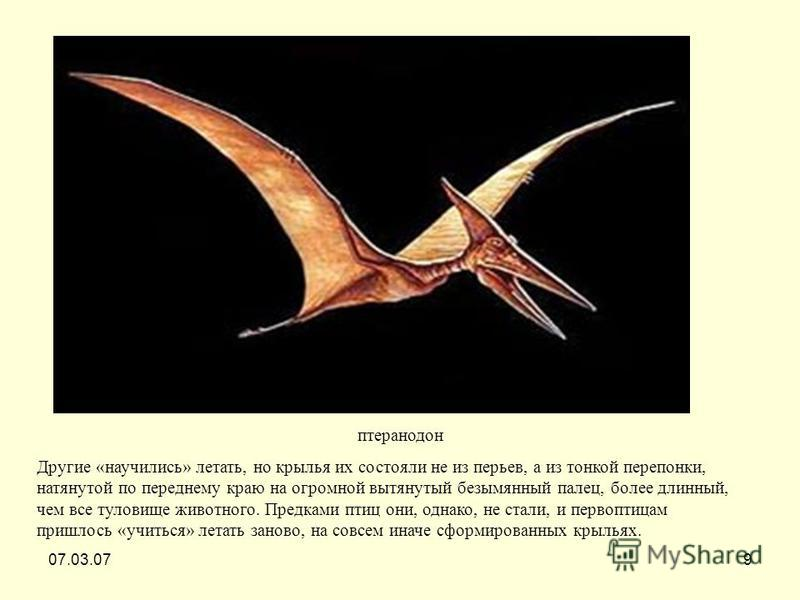 07.03.079 птеранодон Другие «научились» летать, но крылья их состояли не из перьев, а из тонкой перепонки, натянутой по переднему краю на огромной вытянутый безымянный палец, более длинный, чем все туловище животного. Предками птиц они, однако, не ст