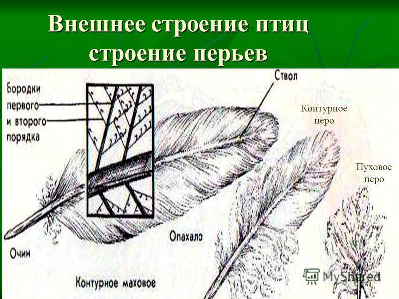 Внешнее строение птиц строение перьев Контурное перо Пуховое перо
