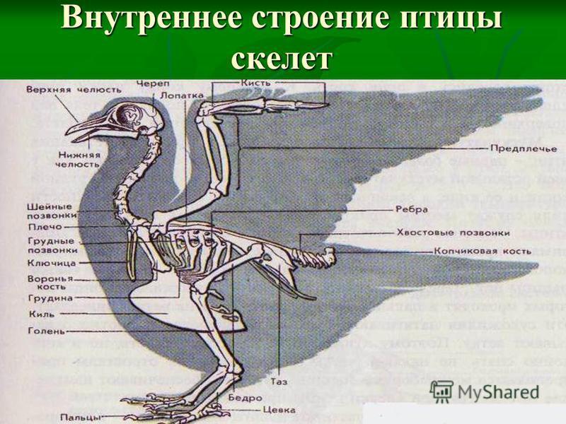 Внутреннее строение птицы скелет