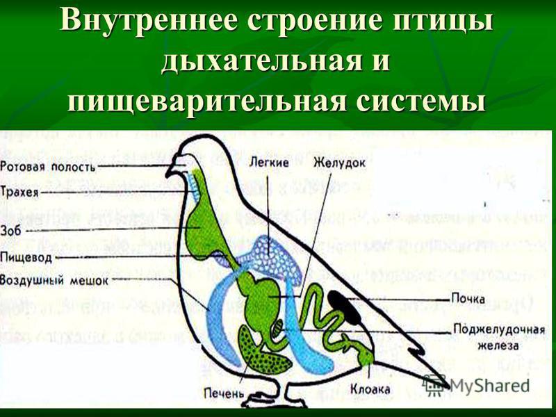 Внутреннее строение птицы дыхательная и пищеварительная системы