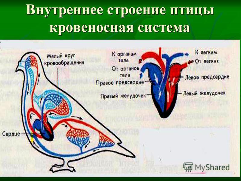 Внутреннее строение птицы кровеносная система