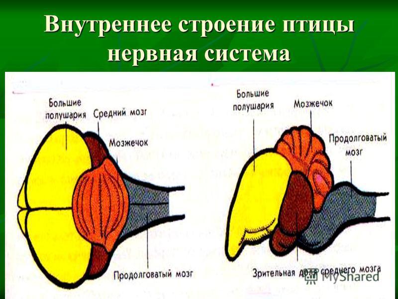 Внутреннее строение птицы нервная система