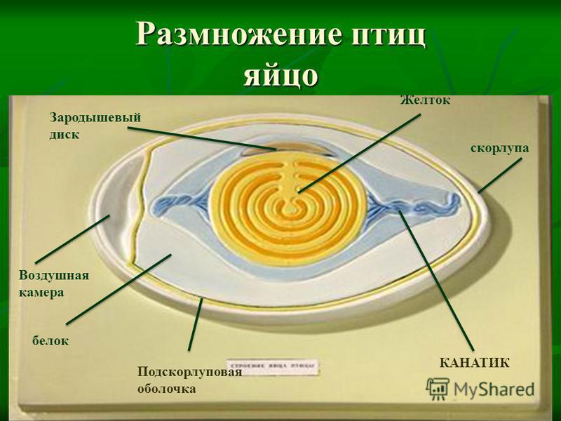 Размножение птиц яйцо Желток Зародышевый диск Воздушная камера белок скорлупа КАНАТИК Подскорлуповая оболочка