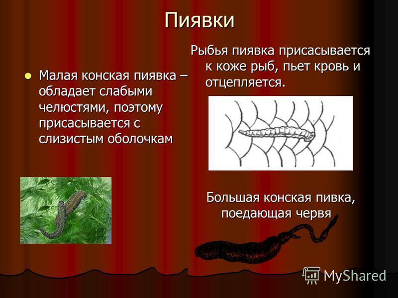 Пиявки Рыбья пиявка присасывается к коже рыб, пьет кровь и отцепляется. Малая конская пиявка – обладает слабыми челюстями, поэтому присасывается с слизистым оболочкам Большая конская пивка, поедающая червя