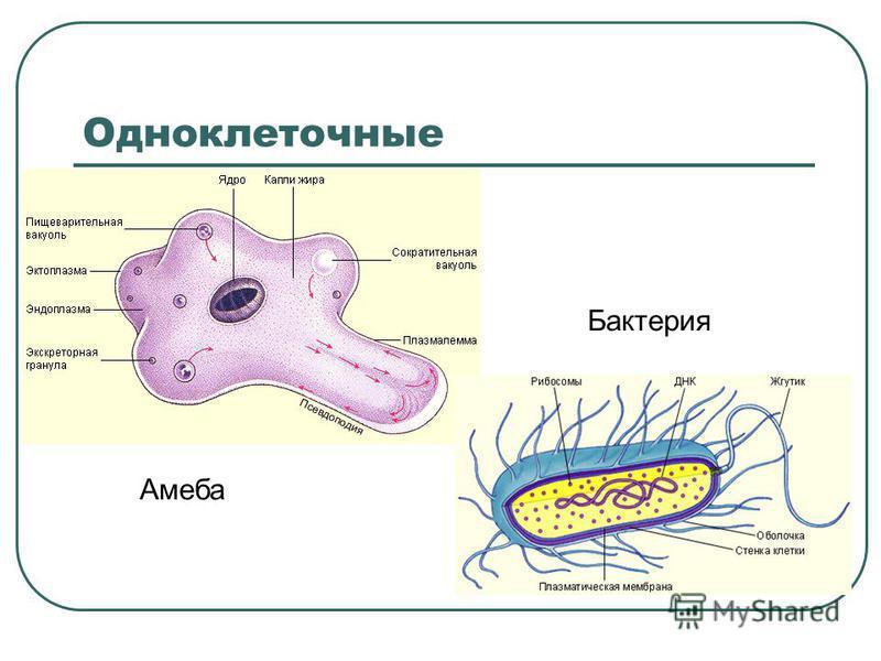 Одноклеточные Амеба Бактерия