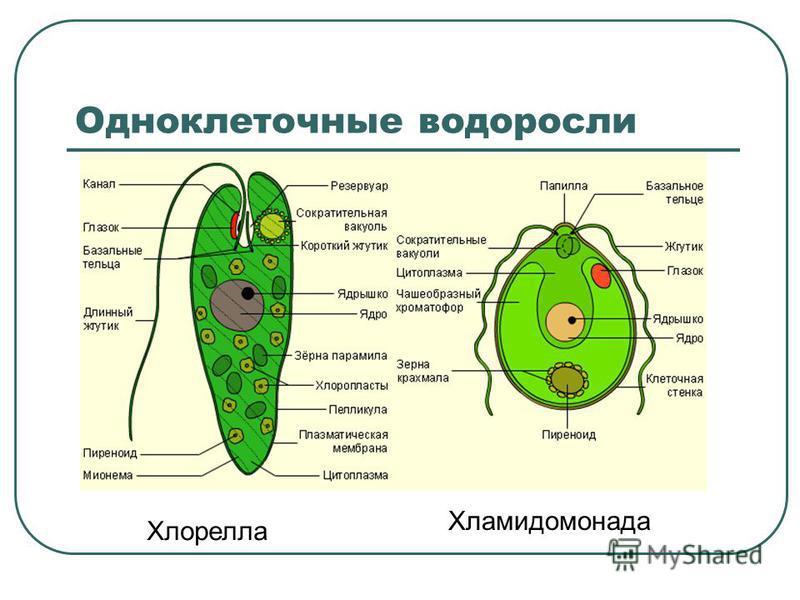 Одноклеточные водоросли Хлорелла Хламидомонада