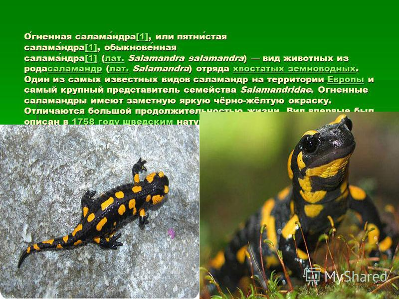 Огненная саламандра[1], или пятнистая саламандра[1], обыкновенная саламандра[1] (лат. Salamandra salamandra) вид животных из рода саламандр (лат. Salamandra) отряда хвостатых земноводных. Один из самых известных видов саламандр на территории Европы и