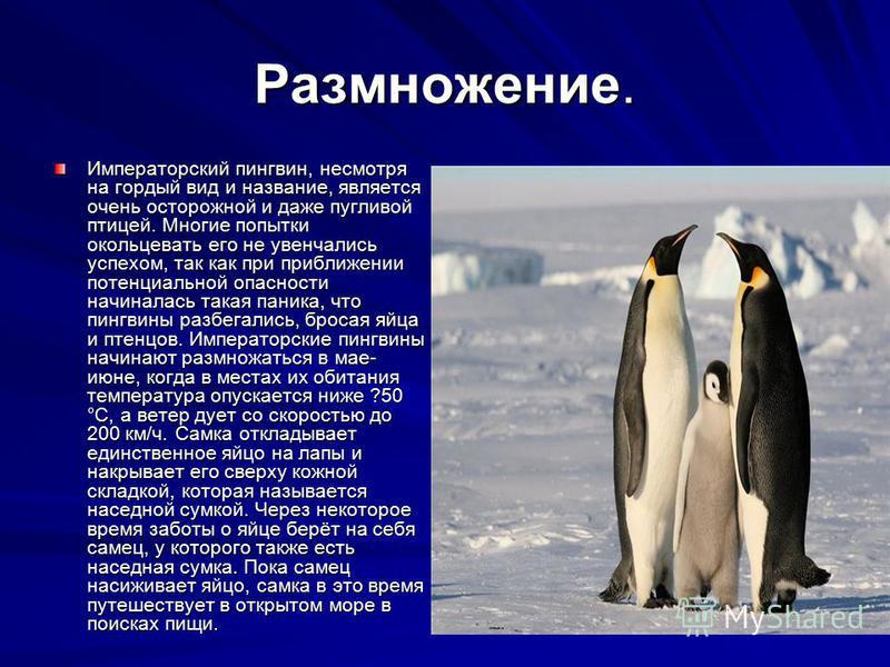 Размножение. Императорский пингвин, несмотря на гордый вид и название, является очень осторожной и даже пугливой птицей. Многие попытки окольцевать его не увенчались успехом, так как при приближении потенциальной опасности начиналась такая паника, чт
