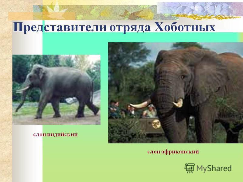 Хоботные Хоботные (лат. Proboscidea) отряд плацентарных млекопитающих, обязанных своим названием их главному отличительному признаку хоботу. Единственными представителями хоботных на сегодняшний день является семейство слонов (Elephantidae). Остальны