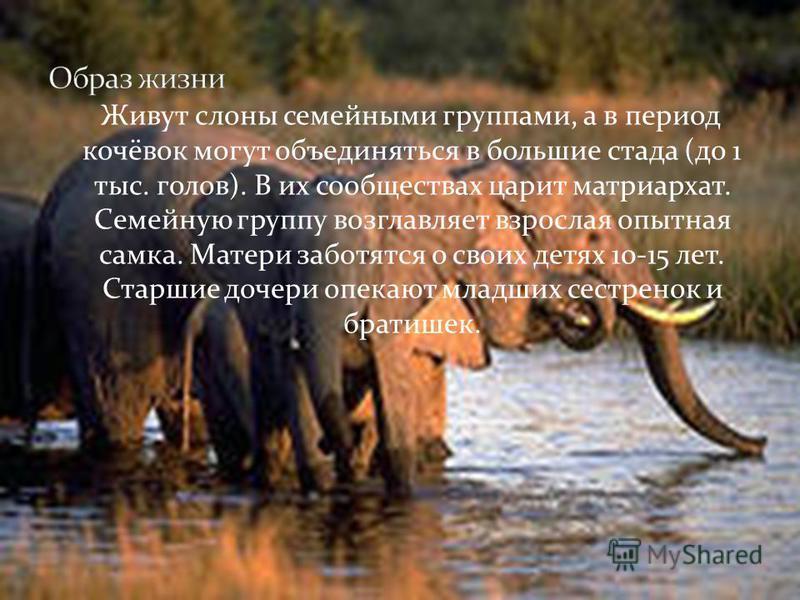 Размножение: у слонов не связано с определенным сезоном. Обычно перед спариванием самец и самка на некоторое время удаляются из стада; спариванию предшествует сложный ритуал, когда животные ласкают друг друга хоботом. Беременность длится 22 месяца. Н