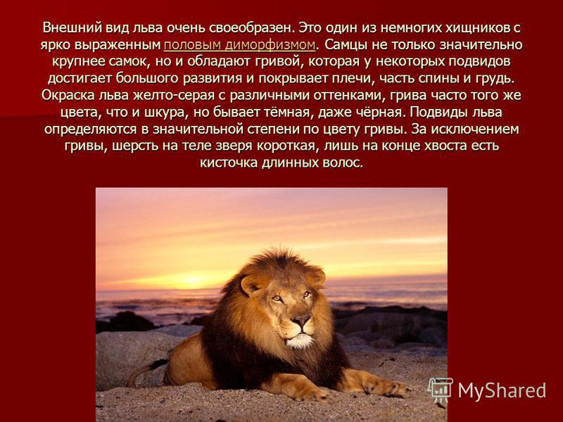Внешний вид льва очень своеобразен. Это один из немногих хищников с ярко выраженным половым диморфизмом. Самцы не только значительно крупнее самок, но и обладают гривой, которая у некоторых подвидов достигает большого развития и покрывает плечи, част