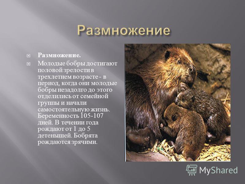 Размножение. Молодые бобры достигают половой зрелости в трехлетнем возрасте - в период, когда они молодые бобры незадолго до этого отделились от семейной группы и начали самостоятельную жизнь. Беременность 105-107 дней. В течении года рождают от 1 до