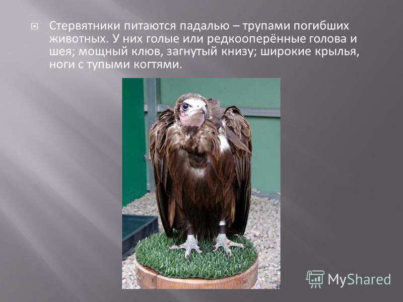 Стервятники питаются падалью – трупами погибших животных. У них голые или редкооперённые голова и шея; мощный клюв, загнутый книзу; широкие крылья, ноги с тупыми когтями.