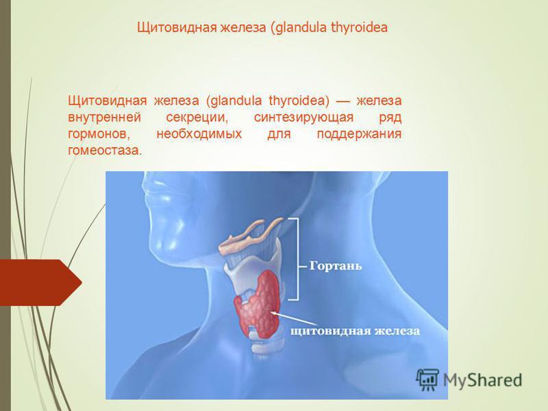 Щитовидная железа (glandula thyroidea) железа внутренней секреции, синтезирующая ряд гормонов, необходимых для поддержания гомеостаза. Щитовидная железа (glandula thyroidea