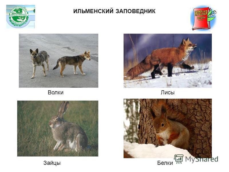 Волки Лисы Зайцы Белки