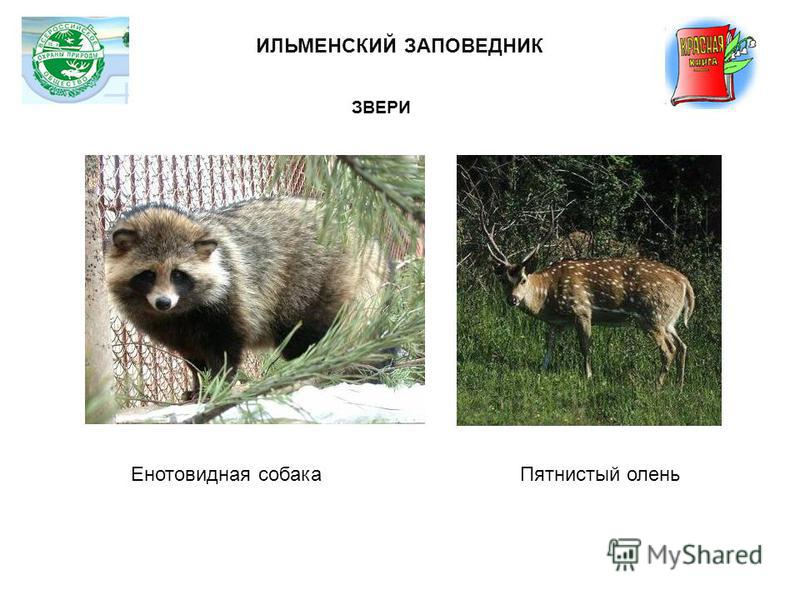 Енотовидная собака ИЛЬМЕНСКИЙ ЗАПОВЕДНИК Пятнистый олень ЗВЕРИ