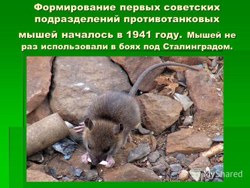 Фоpмиpование первых советских подразделений противотанковых мышей началось в 1941 году. Мышей не раз использовали в боях под Сталинградом.