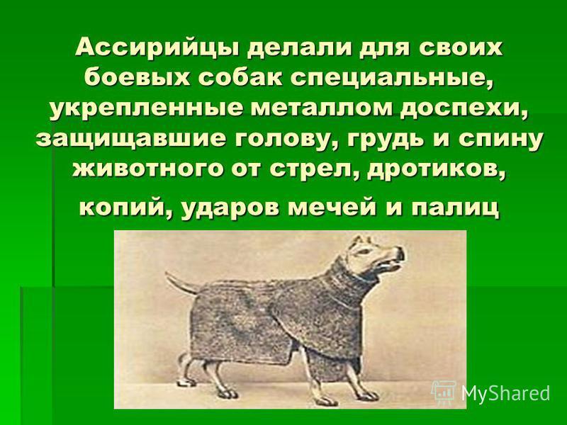 Ассирийцы делали для своих боевых собак специальные, укрепленные металлом доспехи, защищавшие голову, грудь и спину животного от стрел, дротиков, копий, ударов мечей и палиц