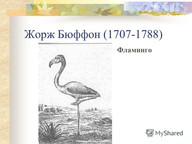 Жорж Бюффон (1707-1788) Фламинго