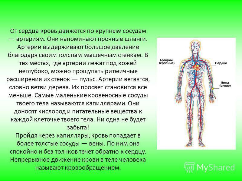 От сердца кровь движется по крупным сосудам артериям. Они напоминают прочные шланги. Артерии выдерживают большое давление благодаря своим толстым мышечным стенкам. В тех местах, где артерии лежат под кожей неглубоко, можно прощупать ритмичные расшире