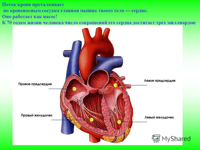 Поток крови проталкивает по кровеносным сосудам главная мышца твоего тела сердце. Оно работает как насос! К 70 годам жизни человека число сокращений его сердца достигает трех миллиардов !