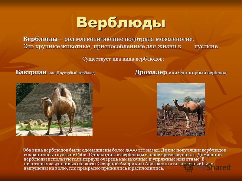 Верблюды Верблюды род млекопитающие подотряда мозоленогие. Верблюды род млекопитающие подотряда мозоленогие. Это крупные животные, приспособленные для жизни в пустыне. Это крупные животные, приспособленные для жизни в пустыне. Существует два вида вер