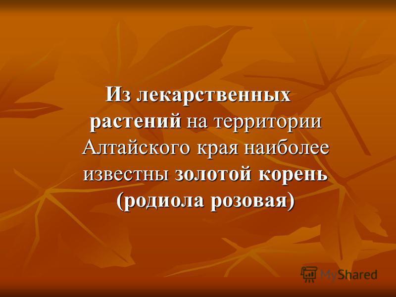 Из лекарственных растений на территории Алтайского края наиболее известны золотой корень (родиола розовая)
