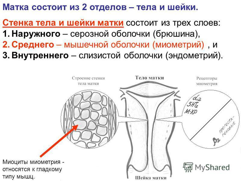 Матка состоит из 2 отделов – тела и шейки. Стенка тела и шейки матки состоит из трех слоев: 1. Наружного – серозной оболочки (брюшина), 2. Cреднего – мышечной оболочки (миометрий), и 3. Внутреннего – слизистой оболочки (эндометрий). Миоциты миометрия