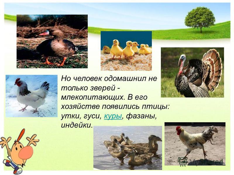 Но человек одомашнил не только зверей - млекопитающих. В его хозяйстве появились птицы: утки, гуси, куры, фазаны, индейки.куры