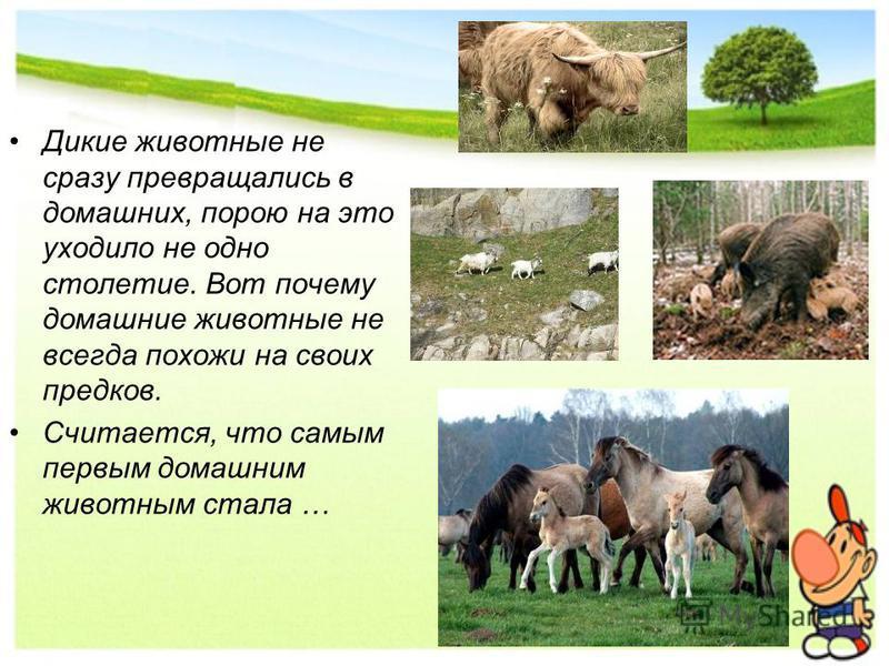 Дикие животные не сразу превращались в домашних, порою на это уходило не одно столетие. Вот почему домашние животные не всегда похожи на своих предков. Считается, что самым первым домашним животным стала …