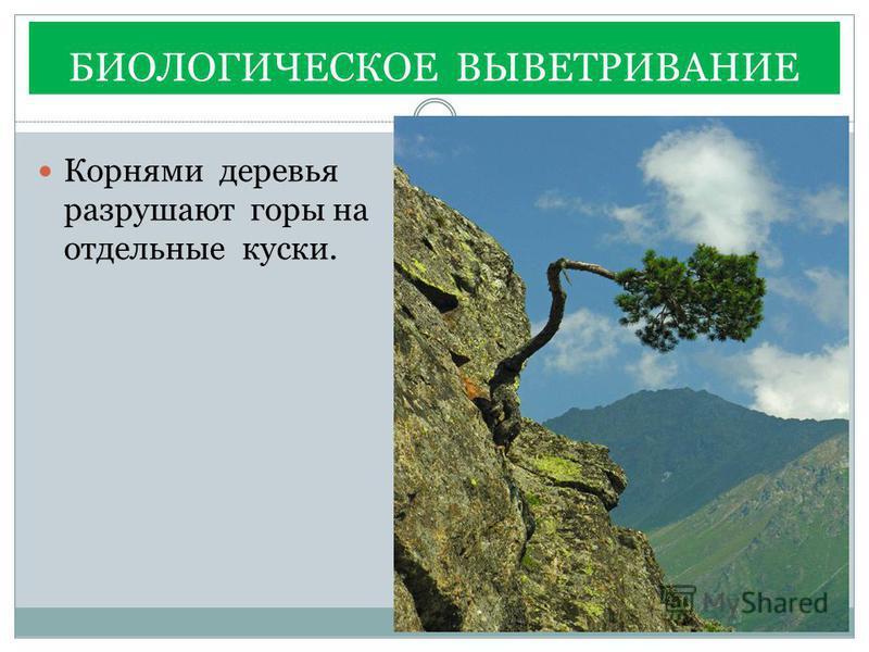 БИОЛОГИЧЕСКОЕ ВЫВЕТРИВАНИЕ Корнями деревья разрушают горы на отдельные куски.